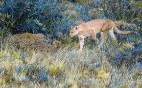 Picture grass, look, branches, nature, pose, vegetation, walk, Puma, the bushes, sneaks, Cougar