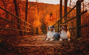 Picture autumn, dogs, bridge