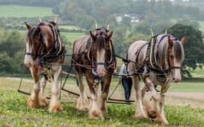 Picture field, horse, trio, plow