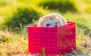 Picture white, summer, grass, look, light, red, background, box, muzzle, hedgehog, box, hedgehog, bokeh, Peeps, hedgehog, …