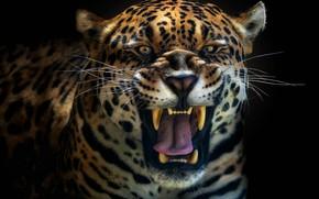 Picture predator, Jaguar, leopard, roar
