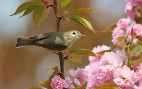 Picture flowers, grey, branch, background, bird, flowering, leaves, bird, Sakura, cherry, pink, spring