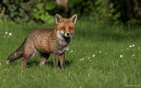 Picture greens, summer, grass, the sun, nature, Fox, red, Fox, bokeh