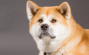 Picture look, face, background, portrait, dog, Akita inu