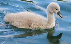 Picture water, reflection, grey, bird, baby, bathing, Swan, chick, pond, swimming, chick, teen, Lebedenko, Lebedenko