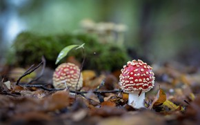 Picture forest, mushrooms, Amanita, clearing, bokeh