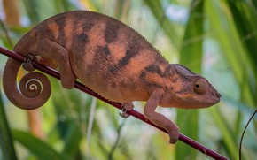 Picture look, leaves, chameleon, branch, profile, reptile