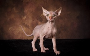 Picture cat, look, pose, the dark background, kitty, muzzle, fur, is, Sphinx, Studio
