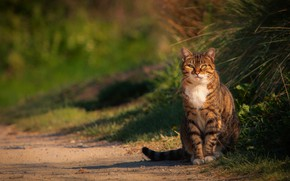 Picture road, cat, grass, cat, light, grey, walk, sitting, striped, path