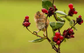 Picture berries, wet, branch, mouse, baby