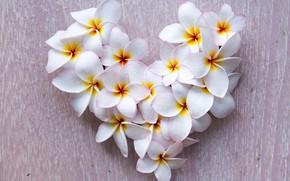 Picture flowers, background, heart, white, Valentine's day, wet, plumeria