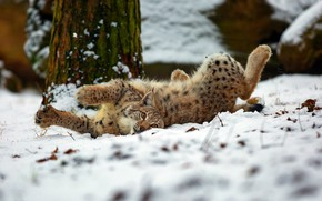 Wallpaper winter, forest, cat, look, snow, pose, paws, lies, lynx, wild