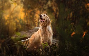 Wallpaper autumn, forest, language, look, leaves, branches, nature, stones, thickets, dog, bokeh