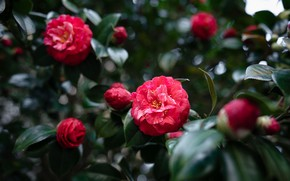 Picture leaves, flowers, red, Camellia