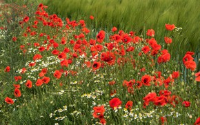 Picture summer, flowers, bright, Mac, rye, Maki, chamomile, red, ears, cereals, a lot, poppy field, rye …