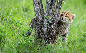 Picture grass, tree, trunks, glade, baby, Cheetah, cub
