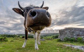 Picture face, nature, cow