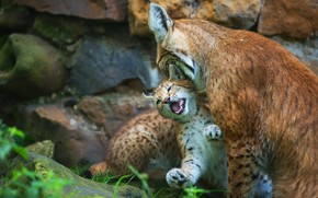 Picture stones, kitty, two, baby, kitty, lynx, care, cub, lynx, mother, motherhood, a small lynx, a …