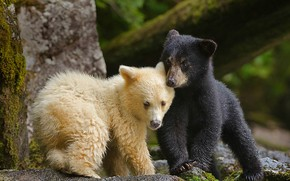 Picture Canada, bears, chermozsky bear