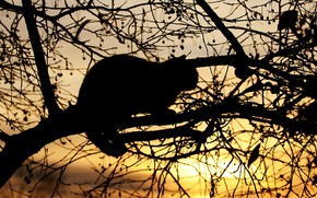 Picture cat, cat, the sun, light, sunset, branches, pose, tree, black, the evening, silhouette, on the …