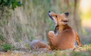 Picture nature, pose, animal, Fox, Fox