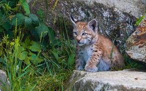Picture grass, look, leaves, stones, baby, lynx, face, sitting, a small lynx