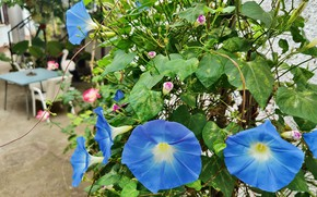 Picture flower, leaves, blue, Liana