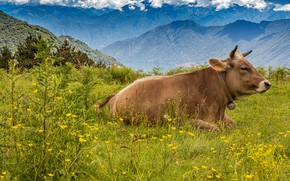 Picture forest, summer, the sky, grass, flowers, mountains, cow, Alps, pasture, meadow, lies, profile