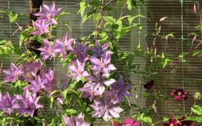 Picture flowers, mesh, lilac, 2018, clematis, Meduzanol ©