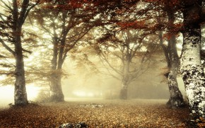 Picture autumn, forest, light, branches, fog, foliage, morning