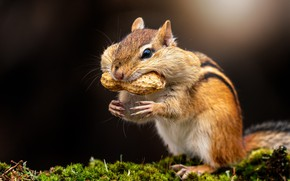 Picture look, light, nature, pose, the dark background, moss, walnut, muzzle, Chipmunk, stand, rodent, peanuts, cheeks, …
