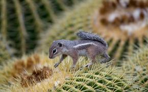 Picture macro, needles, cactus, rodent, Deer-gopher Harris