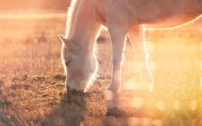Picture field, grass, face, light, nature, fog, horse, horse, morning, pony, haze, profile, white, bokeh, grazing