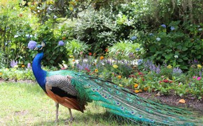 Picture flowers, nature, Bird, tail, peacock