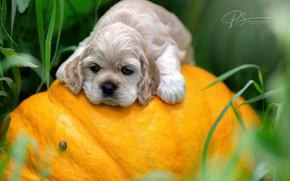 Picture dog, baby, puppy, pumpkin, face, Svetlana Pisareva