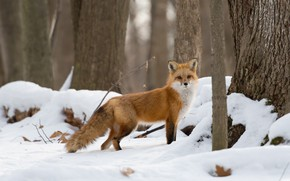 Picture winter, forest, look, snow, trees, Fox, red