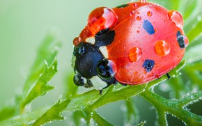 Picture red, macro, background, ladybug, leaves, greens, beetle, insect, plant, Rosa, drops