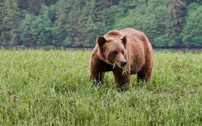 Picture forest, grass, face, wet, river, rain, shore, glade, bear, meadow, pond, brown, herbivores, meal, grazing