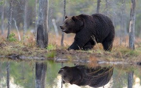 Picture forest, reflection, shore, bear, walk, pond, brown