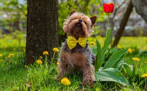 Picture greens, grass, look, flowers, yellow, red, nature, pose, tree, glade, Tulip, portrait, dog, spring, garden, …