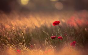Picture field, summer, light, flowers, nature, glade, Mac, Maki, beauty, plants, blur, spikelets, meadow, red, bokeh