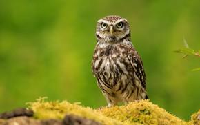 Picture look, green, background, owl, bird, owl