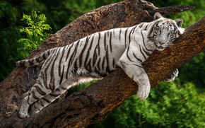 Picture white, look, face, leaves, tiger, tree, stay, lies, blue eyes, bokeh