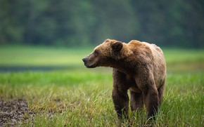 Picture grass, look, face, nature, pose, background, glade, bear, meadow, bear, profile, brown, Mikhaylo Potapych