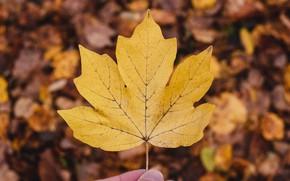 Picture autumn, macro, nature, sheet, bokeh, maple