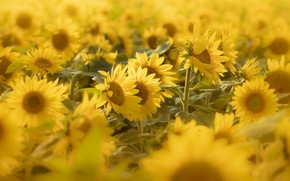 Picture field, summer, sunflowers, flowers, yellow, a lot, sunflower