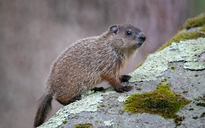 Picture look, pose, background, stone, moss, marmot