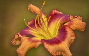 Picture flower, red, brown, daylilies