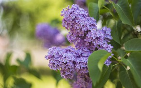 Picture branches, spring, lilac