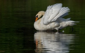 Picture white, water, reflection, bird, Swan, pond, green background, swimming